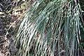 Tripsacum dactyloides var. floridanum 6zz.jpg