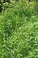 Trisetum flavescens kz06.jpg
