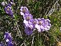 Tropaeolum hookerianum Barn. ssp. atropurpureum J. M. Watson et A. R. Flores 92 por Pato Novoa 001.jpg