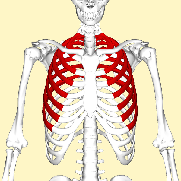 File:True ribs above.png