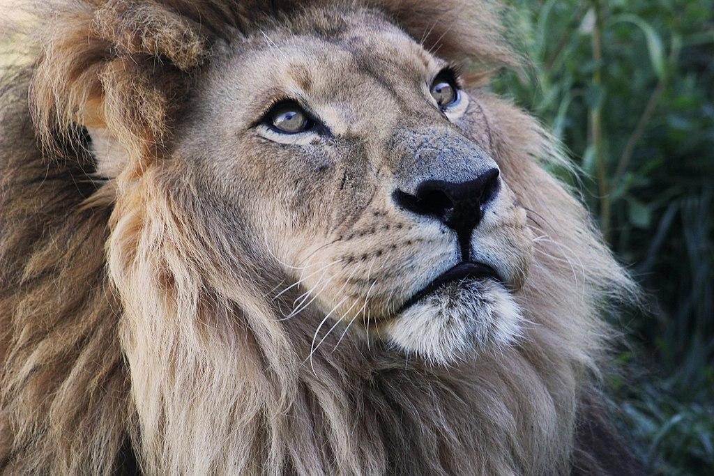 Fichier tsavo le m le lion d 39 wikip dia for Kuchenzeile 2 10 m