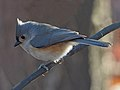 Tufted Titmouse - Baeolophus bicolor, Veteran's Park, Woodbridge, Virginia (27541529049).jpg