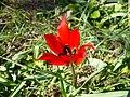 Tulipa agenensis001.JPG
