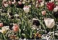 Tulipan, BUGA 2009.jpg
