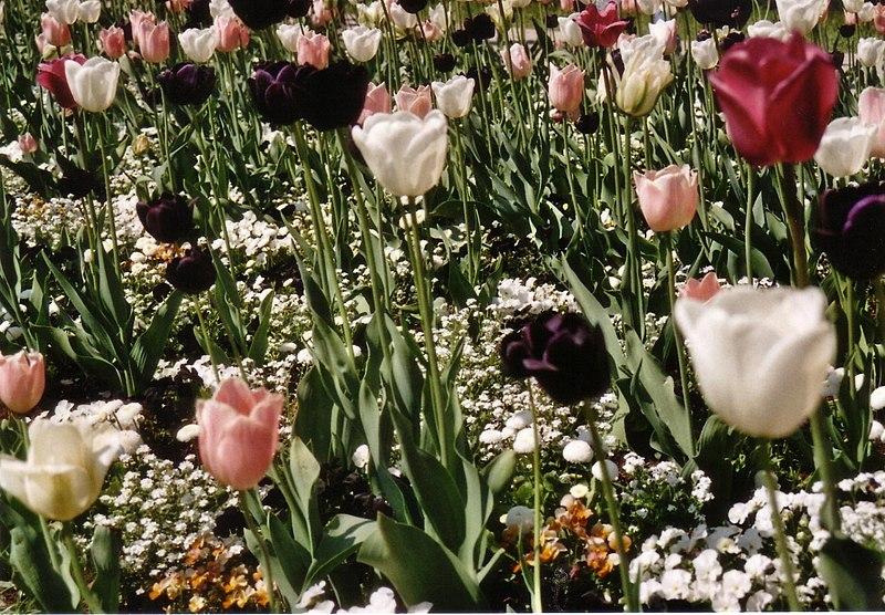 File:Tulipan, BUGA 2009.jpg