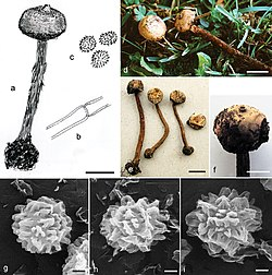 Tulostoma calcareum (10.3897-mycokeys.21.12176) Figure 3.jpg