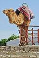 Tunisia-3322 - Camel outside the Colosseum (7847017438).jpg