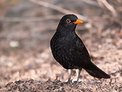 Turdus merula -Gran Canaria, Canary Islands, Spain-8 (2).jpg