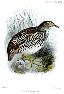 Burung Puyuh Tanah Wikipedia Bahasa Melayu Ensiklopedia Bebas