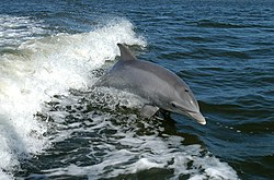 A bottlenose dolphin breaching in the bow wave of a boat