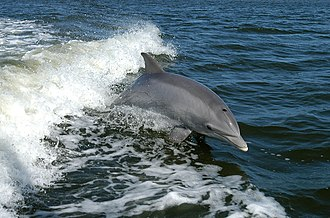 Bottlenose dolphin - Bottlenose dolphin breaching in the wake of a boat