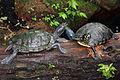 Turtles Munich Botanic Garden.jpg