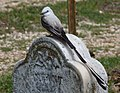 Tyrannus forficatus -headstone-8.jpg