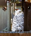 USDA South Building in Washington, Snowy Owl, 2018-02-05 (28324242099).jpg