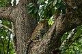 Uday Kiran Leopard BR Hills-7.jpg