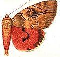 Ulothrichopus maccvoodi.JPG