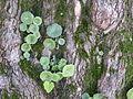 Umbilicus rupestris - Saint-Germain-sur-Ille 20121101.JPG