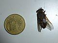 Unidentified Diptera - Les Salles-sur-Verdon 01.JPG