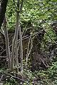 Upturned tree root wad LR.jpg
