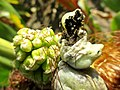 Ustilago maydis (Ustilaginaceae) - (gall), Arnhem, the Netherlands.jpg