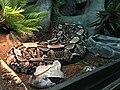 Víbora de Gabon (Bitis gabonica) 2.jpg