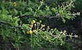 Vachellia nilotica kraussiana 5.jpg