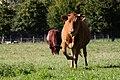 Vaches armoricaine et froment du Léon, Écomusée du pays de Rennes, France-2.jpg