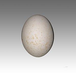 Rüppell's vulture - Egg