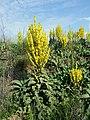 Verbascum speciosum sl24.jpg
