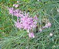Vernonanthera nudiflora (18871820160).jpg