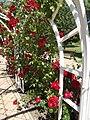 Verseghy Park, rose garden, eastern pergola, red roses, 2017 Szolnok.jpg