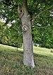 Vespa crabro – W Ersange 01 Luxembourg.jpg