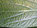 Viburnum rhytidophyllum (8).JPG