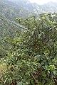 Viburnum rigidum kz4.jpg