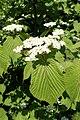 Viburnum wrightii k3.jpg