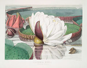 Walter Hood Fitch - Plate 2, Victoria amazonica, of Victoria Regia, 1851