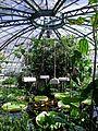 Victoria amazonica - Nymphaeaceae 04.jpg