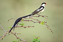 Vidua macroura -Londolozi Private Game Reserve, Limpopo, South Africa -male-8.jpg