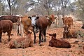 Viehwirtschaft Kalahari Makam (2018).jpg