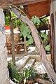 Vieux cep de treille à La Rochegiron.jpg