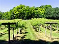 Vineyard at Bozedown near Whitchurch-on- Thames - geograph.org.uk - 26756.jpg