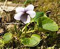 Viola palustris kz1.jpg