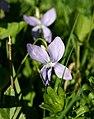 Viola reichenbachiana 20.04.18 pl.jpg