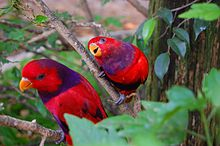 Violet-necked Lory (Eos squamata) -two in tree.jpg