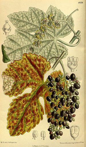 Vitis thunbergii (= Vitis ficifolia), Vitaceae