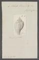 Voluta bicorona - - Print - Iconographia Zoologica - Special Collections University of Amsterdam - UBAINV0274 087 04 0045.tif