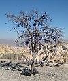 Votive tree cappadocia.jpg