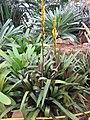 Vriesea amethystina - Kew gardens b.jpg