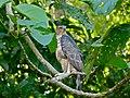 Wallace's Hawk-eagle (Nisaetus nanus) (8067762642) (2).jpg