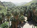 Washingtonia filifera in Palm Canyon.jpg